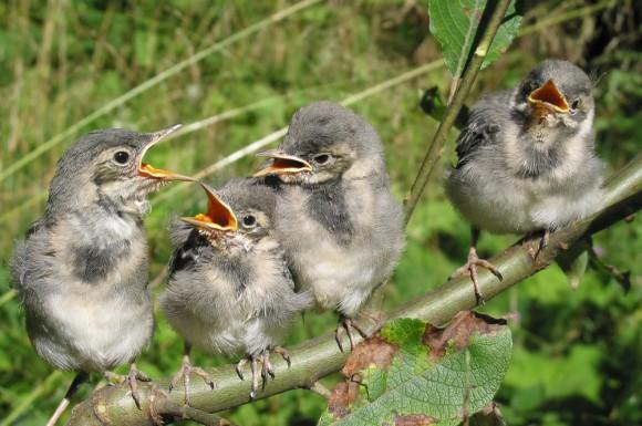 Bachstelzen Jungvögel