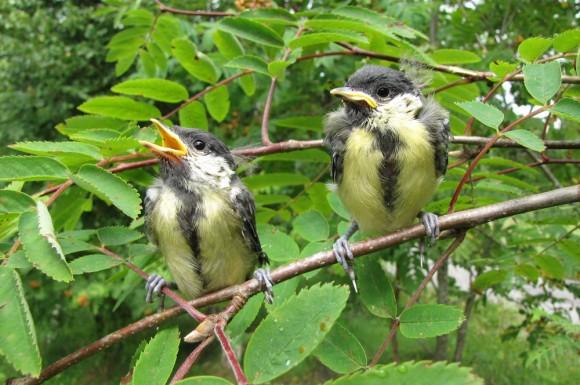 Kohlmeisen Jungvögel
