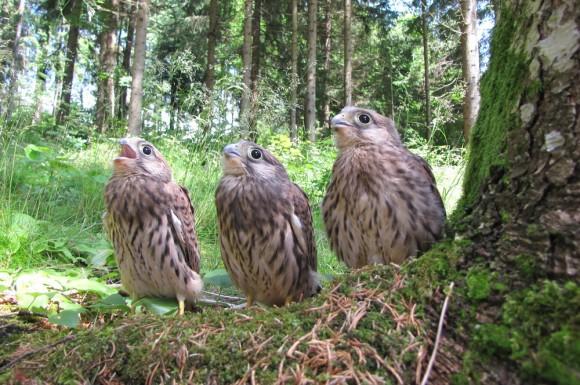 Turmfalken Jungvögel